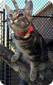 Decatur, AL - Domestic Shorthair. Meet Alabama, a kitten for adoption. http://www.adoptapet.com/pet/11308371-decatur-alabama-kitten