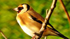 Goldfinch Bird Song and Sounds - Birds Singing - One Hour of Beautiful G...