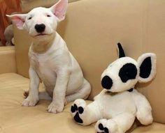 Un Dogue Argentin et son double ........ avec des taches en plus !!