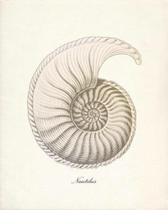 Beautiful Nautilus illustration by Vintage By The Shore on Etsy