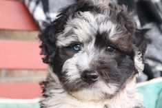 💙🐾🌺 Cute, #Cuddly, and ready to be yours! These lovable #MiniSheepadoodle babies are looking to start a new life with a loving family! These cuties are little love bugs and enjoy all the cuddles. #LancasterPuppies www.LancasterPuppies.com Puppies For Sale, Dogs And Puppies, Sheepadoodle Puppy, Puppy Quotes, Lancaster Puppies, German Shorthaired Pointer, Cuddles, New Puppy, Bugs