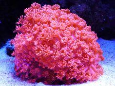 Purple gonipora by michael nerig reef coralreef ocean goniopora flower pot coral mightylinksfo