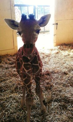 Please Say Hello To This One Month Old Baby Giraffe... Omg this is so cute, I love giraffes!!!!