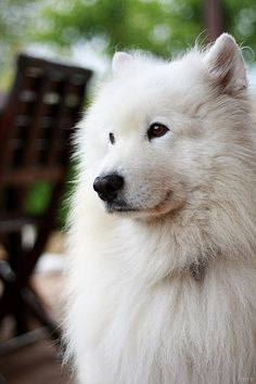 Samoyed - My uncle had one when I was little, if I ever chose to own a purebred dog, this is the one I would have.