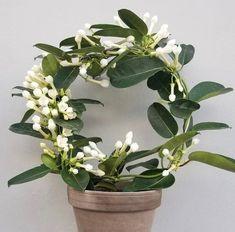 stephanotis floribunda Potted Flowers, Potted Plants, Indoor Plants, Flower Pots, Gardenias, Coastal Gardens, Bare Essentials, Topiary, Different Shapes