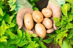 [ Hands Presenting Organic Fresh Potatoes Wearing Gardening Gloves How To Store Potatoes, Fresh Potato, Burlap Sacks, Glycemic Index, Gardening Gloves, Lawn Care, Sustainable Living, Fruits And Vegetables, Grocery Store