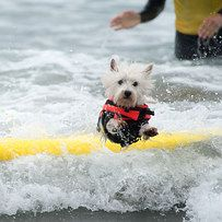 20 Ridiculously Cute Surfing Dogs That You Need To Look At Now