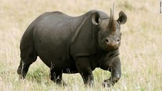 Winner of black rhino hunting auction: My $350.000 will help save the species - Oh really?