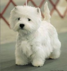 Westies ~ my favourite!! Adore my Oliver ♥♥♥