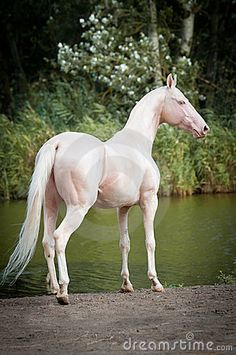 Photo about Cremello Akhal-teke stallion portrait in summer. Image of white, animal, beauty - 20421101 Most Beautiful Horses, All The Pretty Horses, Animals Beautiful, Cute Horses, Horse Love, Horse Photos, Horse Pictures, Akhal Teke Horses, Majestic Horse