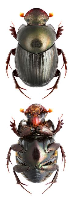 Onthophagus formosanus