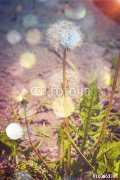 """Pobierz zdjęcie royalty free  """"Dandelion in the Garden Filtered"""" autorstwa AnnaPa w najniższej cenie na Fotolia.com. Przeglądaj naszą bazę tanich obrazów online i odnajdź doskonałe zdjęcie stockowe do Twoich projektów reklamowych!"""