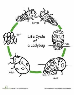 First Grade Animals Life Science Worksheets: Color the Life Cycle: Ladybug Science Lessons, Science For Kids, Science Activities, Life Science, Sequencing Activities, Science Worksheets, Art Lessons, First Grade Science, Kindergarten Science
