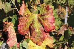 Grape vine virus Red Blotch will be as damaging as phylloxera to Californian vineyards, believes Bruce Cakebread of Napa's Cakebread Cellars. Grape Plant, California Wine, Wine Drinks, Grape Vines, Vineyard, Leaves, Fruit, Garden, Plants