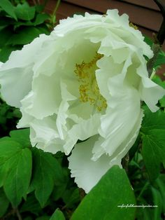 Tree Peony in a May Garden ~ Our Fairfield Home and Garden   http://ourfairfieldhomeandgarden.com/may-garden-our-fairfield-home-garden/