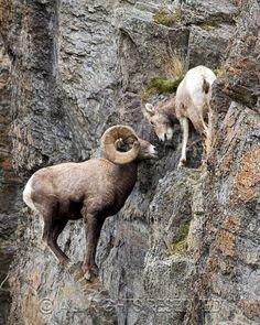 Big Horn Sheep Rut 2012 | Montana Wildlife @ KritterShots.com