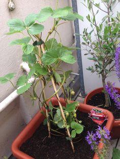 """Foto: Unser neuester Zuwachs, die Erdbeere """"Kletter Toni"""" – Ich konnte einfach nicht anders +g+ / © Der grüne Mami Blog"""