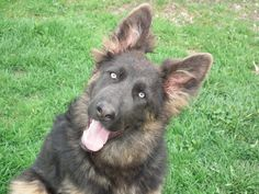 Blue German Shepherd | Home - Blue & Liver German Shepherds