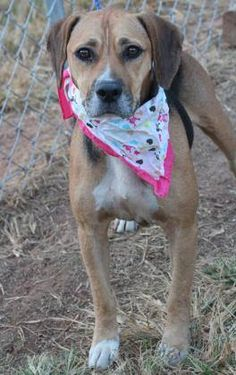 RTO>NAME: Joni  ANIMAL ID: 33716673  BREED: Beagle/Retriever mix  SEX: female(spayed)  EST. AGE: 2 yr  Est Weight: 54 lbs  Health: Heartworm neg  Temperament: dog friendly, people friendly  ADDITIONAL INFO: RESCUE PULL FEE: $35  Intake date: 3/18  Available: 3/26