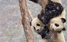 Download wallpapers pandas, winter, cute animals, small panda, zoo, Ailuropoda