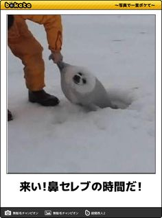 来い!鼻セレブの時間だ! - シロクマへのボケ[59376031] - ボケて(bokete) Haha Funny, Funny Dogs, Funny Animals, Cute Animals, Hilarious, Funny Photos, Funny Images, Cute Seals, Japanese Funny