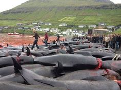 """The Academy Award-winning film, The Cove, spotlights the dolphins brutally slain in Taiji by Japanese fishermen, but in the Faeroes there are also regular drive hunts of whales and dolphins just as barbaric and even more merciless. Pilot Whales are classified as """"strictly protected"""" under the Convention on the Conservation of European Wildlife and Natural Habitats. By allowing the slaughter in the Faeroes, Denmark is in violation of its obligations as a signatory to the Convention."""