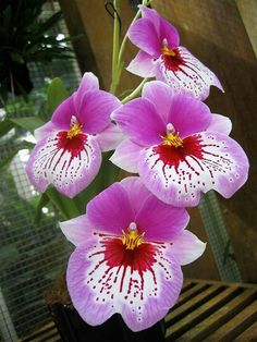 Orchids Orchidaceae, commonly referred to as the Orchid family. Tropical Flowers, Flowers Nature, Exotic Flowers, Amazing Flowers, Beautiful Flowers, Bloom, Magic Flower, Miltonia Orchid, Orquideas Cymbidium