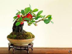 Shohin galerij - Bonsai Empire