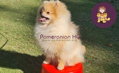 Are Pomeranians smart? how smart are Pomeranians as a dog breed in general compared to other breeds? Pomeranian intelligence level explained. Discover how smart a Pomeranian actually is and find out how to help your Pomeranian learn.#pomeranianhq #pomeranianheadquarters #pomeranianorg Pomeranian Dogs, Pomeranians, Dog Information, Dog Breeds, Corgi, Training, Tips, Animals, Corgis