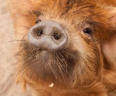 kunekune pigs, a rare breed...  Yes, we bred them here in New Zealand when we had the farm as they were becoming an endangered species. Such beautiful animals, more like dogs than the pink ordinary breed of pigs we found.