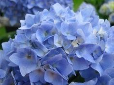If you love hydrangeas, as I do, now is the time to propagate them. If you don't have one, maybe a neighbor would let you take a few cuttings. It won't harm the existing plant, so don't be shy in asking. In about 6 weeks you'll be able to plant the cuttings in their permanent site.