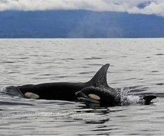 North Vancouver Island - Alert Bay is world renowned for its Native culture, artifacts, and totem poles. Still a great place to go fishing, Alert Bay is  now better known for its eco-tours, kayaking, scuba diving, and of course, whale watching.