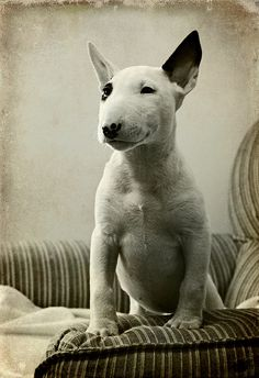 She's actually my dog :) Vega, 3 months old - English Bull Terrier