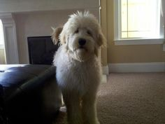 My GREAT BIG Goldendoodle