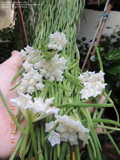 ... size picture of Hoya, Wax Plant, Porcelain Flower ( Hoya linearis