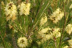 callistemon sieberi Bottle brush