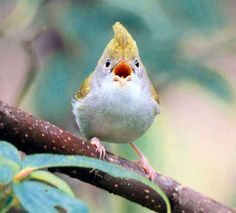 The Beauty of Bird Photography by John & Fish A singing White-bellied Yuhina