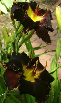 Victoria Garden Star Bright