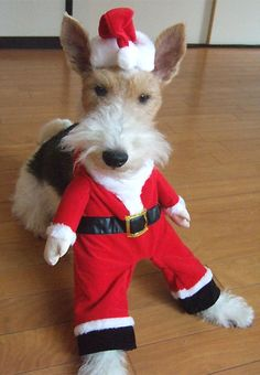 Wire Fox Terriers aren't just for Christmas