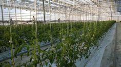 Tomaattikasvuston komeat rivit alkavat valmistua