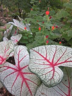 Caladium for shade gardens