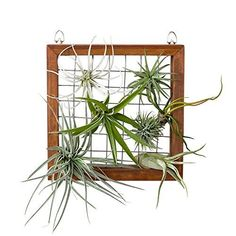 Mkono-Air-Plant-Frame-Hanging-Airplant-Holder-Tillandsia-Display-Hanger-Wooden-Shelf-Wall-Decor-for-House-PlantsSucculent-8-Inch