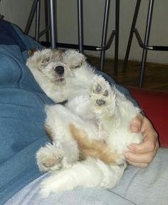Bela fox terrier as puppy