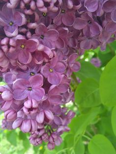 Beautiful lilacs - I can almost smell them