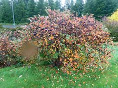 Red vs Black chokeberry as a landscape shrub is discussed. Pluses and minuses of each of these shrubs for wet soil is covered. Aronia Melanocarpa, Shrubs, Backyard, Good Things, Landscape, Fall, Plants, Content, Black