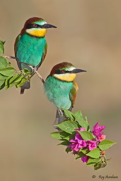Bee-eaters by Roy Avraham