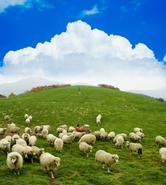 Daegwallyeong Sheep Farm (대관령 양떼목장) in Pyeongchang - Gangwondo, South Korea Cute Sheep, Sheep Farm, Sheep And Lamb, Farm Animals, Animals And Pets, Cute Animals, Country Farm, Farm Life, Amazing Nature