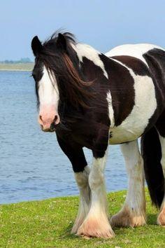 Gypsy Vanner Horse 2019 Engagement Calendar
