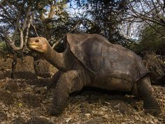 Lonesome George, the last Pinta Island tortoise on earth, died Sunday at the age of 100.
