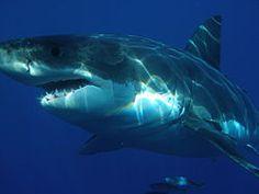 Los tiburones blancos se caracterizan por su cuerpo fusiforme y gran robustez, en contraste con las formas aplastadas que suelen lucir otros...